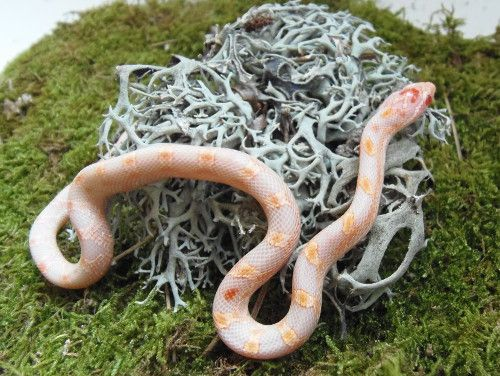 Taille et comportement du serpent des blés | Croissance, stress
