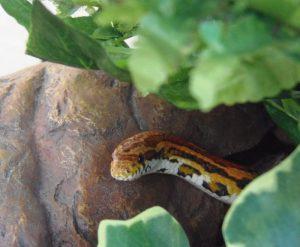serpent-des-bles-hors-cachette-compressor