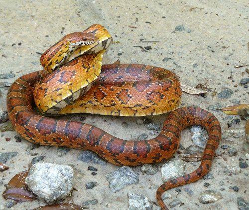 serpent-des-bles-posture-d-attaque