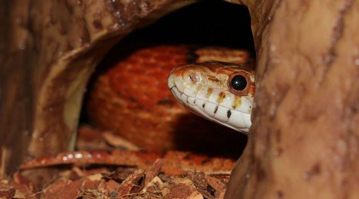 serpent-des-bles-dans-cachette