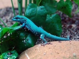Lygodactylus-williamsi