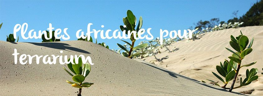 plantes-africaines-terrarium