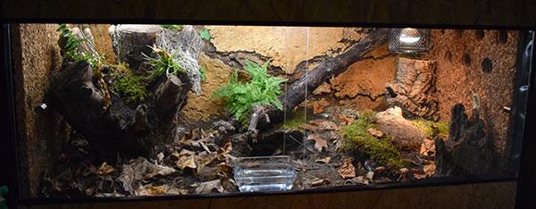 terrarium-naturel-pantherophis-guttatus